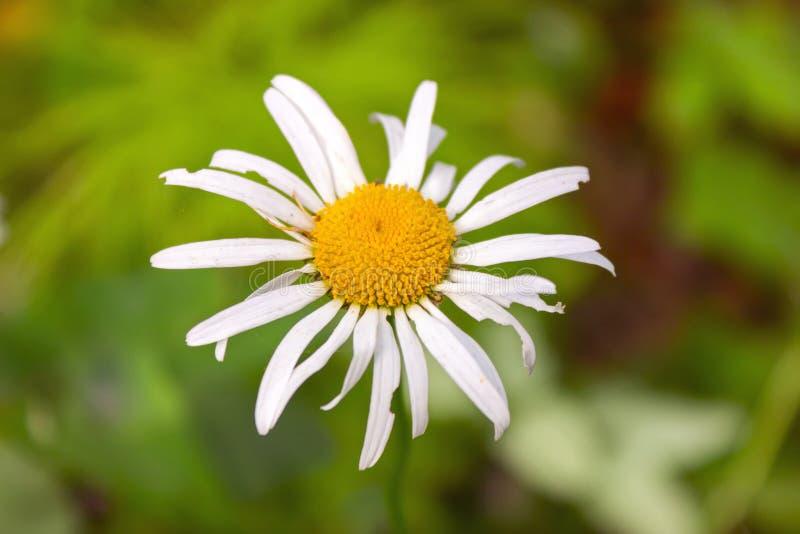 Wild wildflowersclose-up Wilde bloemen in een weideaard Natuurlijke de zomerachtergrond met wilde bloemen in de weide in royalty-vrije stock afbeeldingen