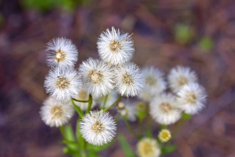 Wild wildflowersclose-up Wilde bloemen in een weideaard Natuurlijke de zomerachtergrond met wilde bloemen in de weide in royalty-vrije stock afbeelding