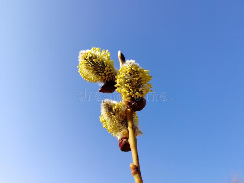 Wild willow. Spring is coming. Springtime stock photo