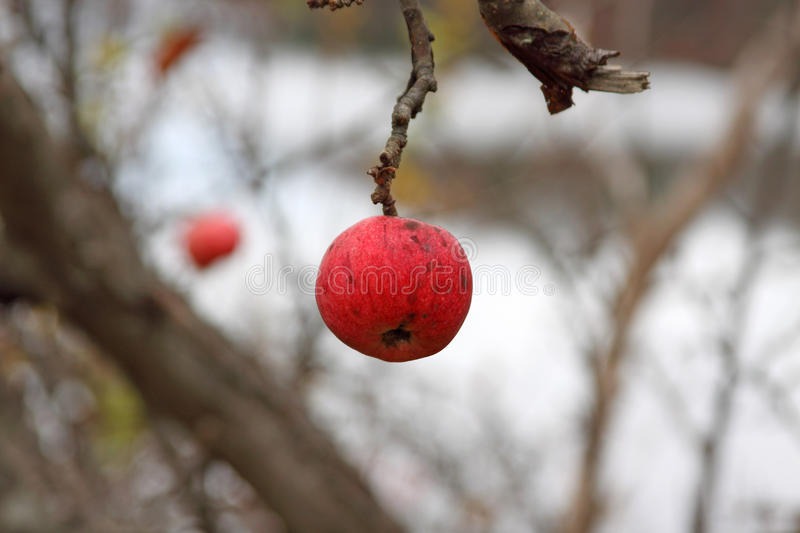 Wild winter apple royalty free stock photography