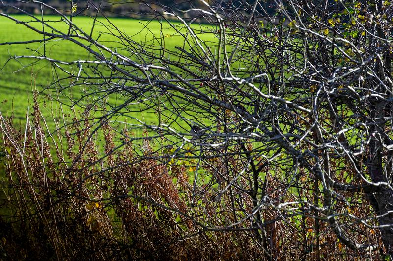 Wild winter bright morning bare tree with birds sitting on branches and green grass crops in the background. On farmers field stock image