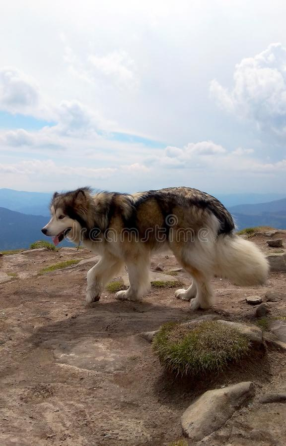 Wild wolf on the top of mount Hoverla stock images
