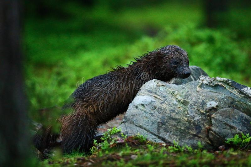 Wild wolverine in Finnish taiga. Raptor in the nature in north Europe. Dangerous animal with open mouth. Wolverine hunting during. The dark nigfht. Wildlife stock photos