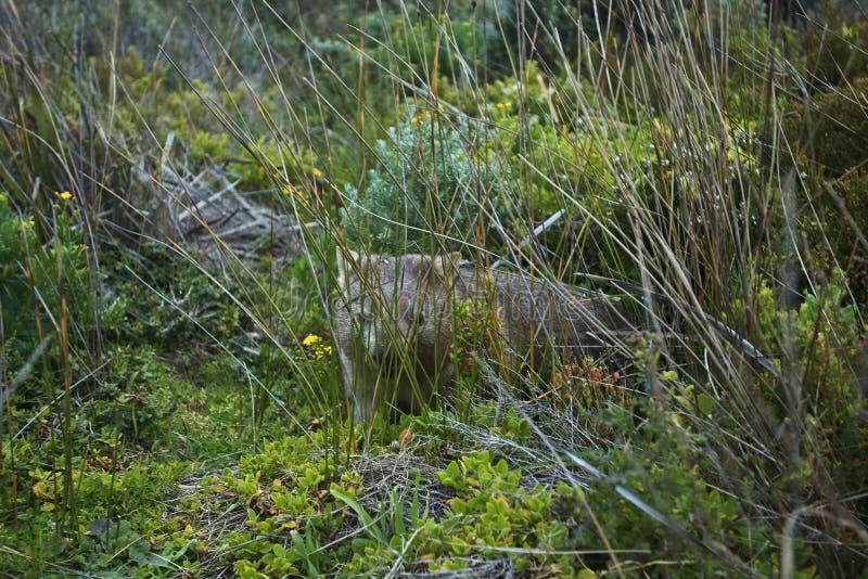 Download Wild Wombat stock image. Image of herbivore, hidden, endangered - 12616315