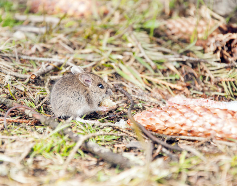 Wild wood mouse eats the crumbs stock images
