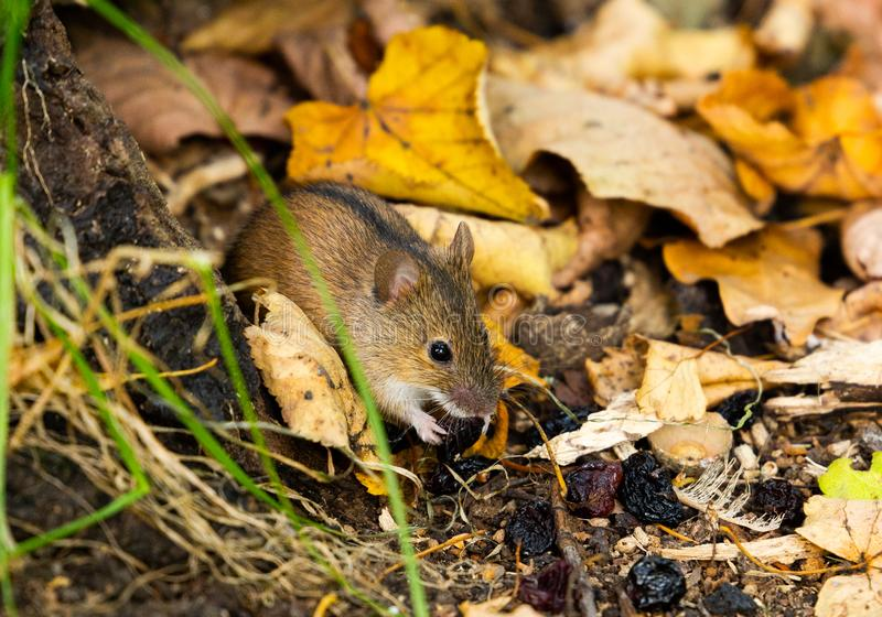 Wild Wood mouse on the forest floor in a autumn forest royalty free stock images