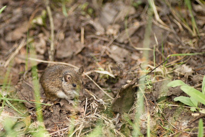 Wild wood mouse resting on the forest floor royalty free stock image