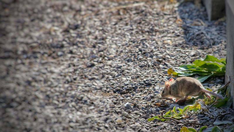 Wild Wood mouse resting on a stick on the forest floor stock photography