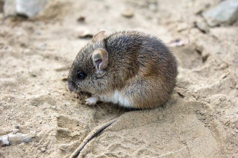 Wild wood mouse sitting on the sand road. stock photo