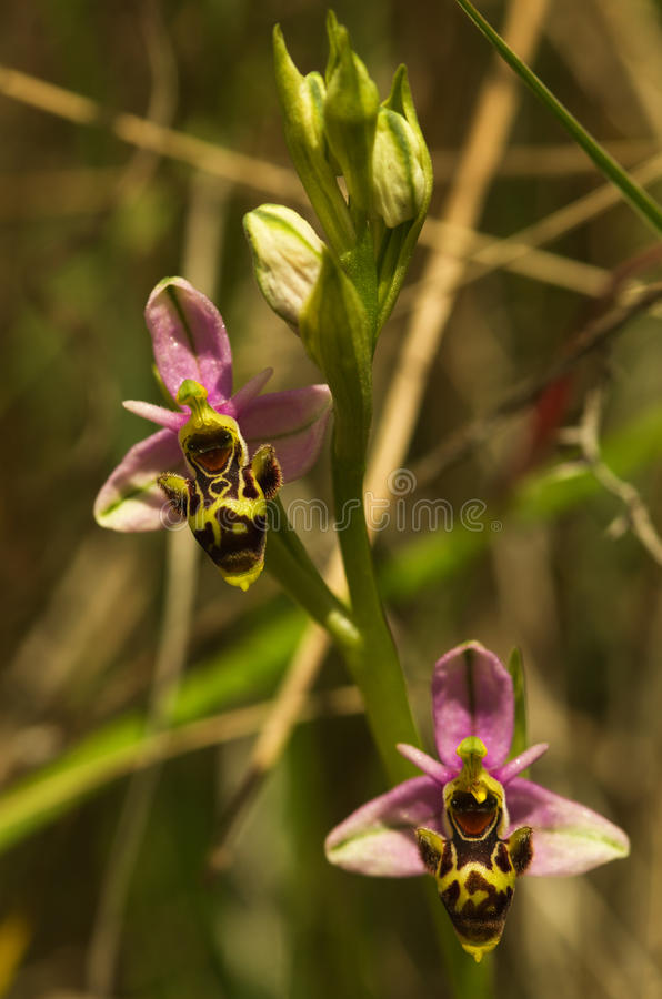 Wild Woodcock orchid flowers - Ophrys picta royalty free stock images