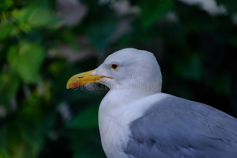 White gull in the park. Wild world. White gull in the park royalty free stock photo