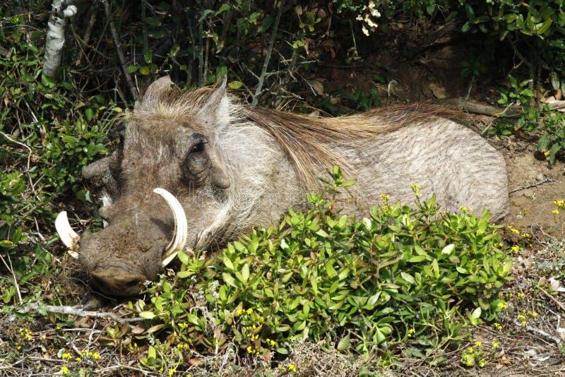 Het glimlachen wrattenzwijn royalty-vrije stock afbeeldingen