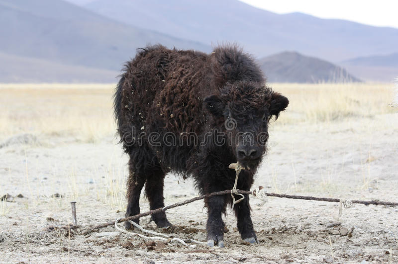 Download Wild yak stock image. Image of shepherd, wilderness, grass - 21925545