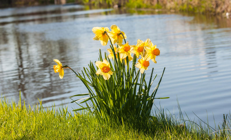 Wild yellow blooming daffodils on the ditch side. Yellow daffodils blooming in the wild in the grass on the ditch side royalty free stock image