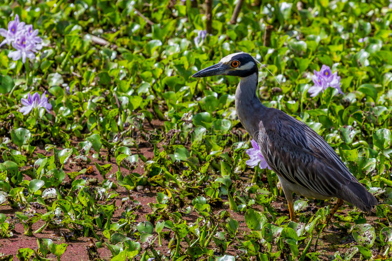 A Wild Yellow-crowned Night Heron in Texas. stock images