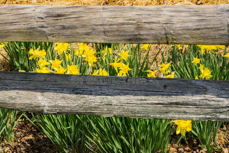 Wild Yellow Daffodil and a Fence royalty free stock photography
