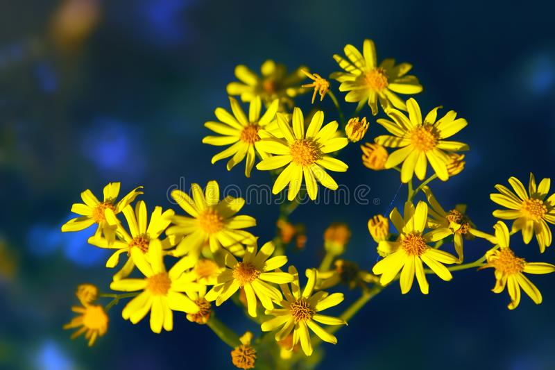 Wild Yellow Flowers On A Dark Background. Forest yellow wild flowers - Jacobaea vulgaris or ragwort - closeup on a dark blue background. Selective focus, blurred royalty free stock images