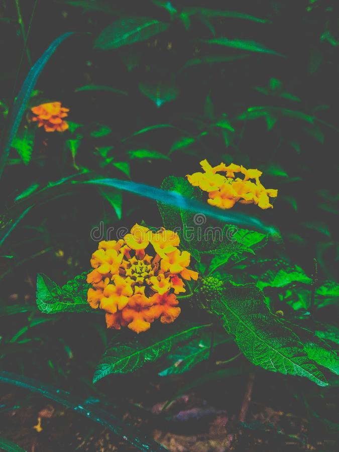 Ground level horizontal Closeup of Two Wild yellow flowers with dark green leaf spring blooms in wild. With drak green out of focus bushy. Wild yellow flowers royalty free stock photo