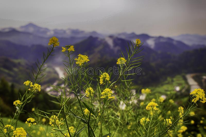 wild yellow flowers with a river valley in the background stock images