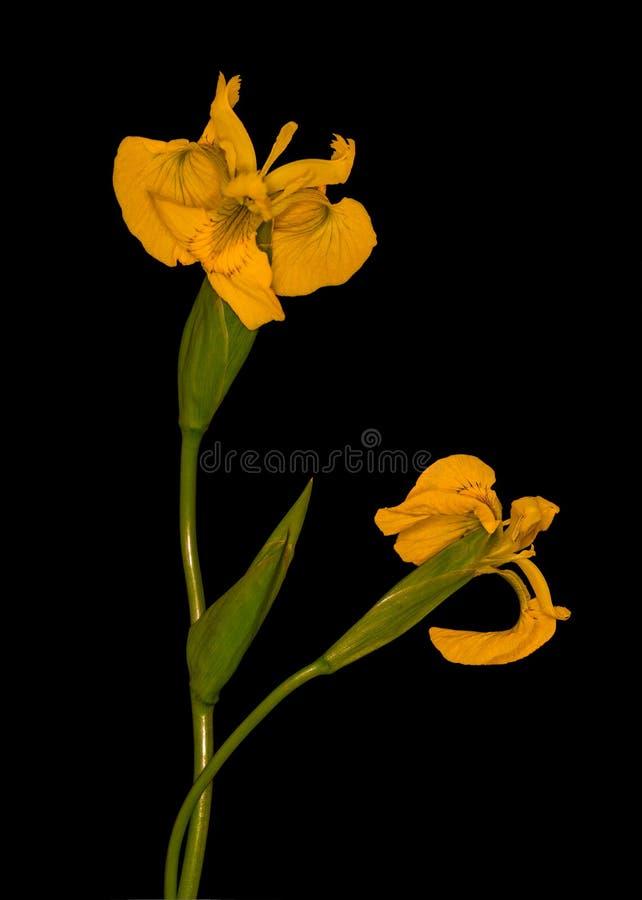 Wild Yellow Iris royalty free stock photo