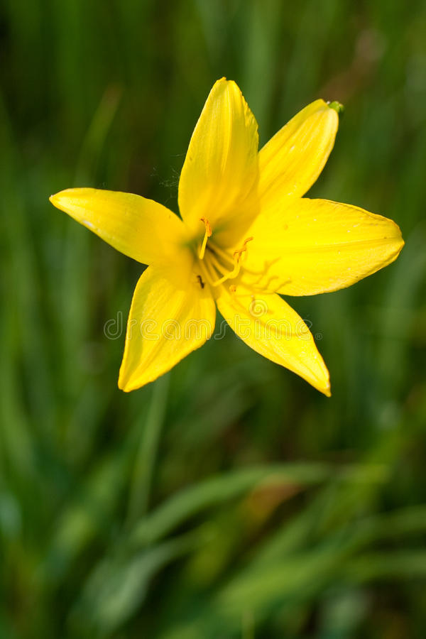 Wild yellow lily royalty free stock photo