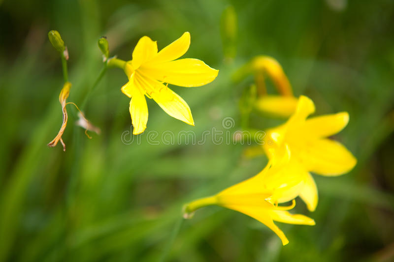 Wild yellow lily royalty free stock image