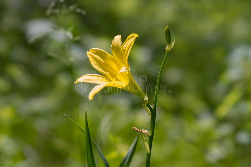 Wild yellow lily closeup blooms in the woodland meadow. royalty free stock image
