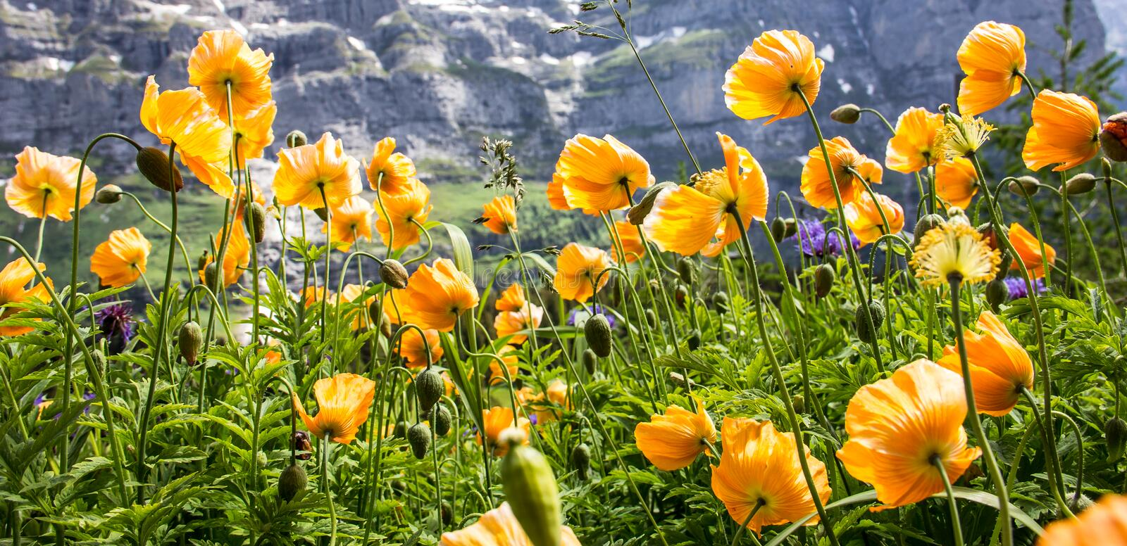 Wild yellow poppy flowers facing the sunlight in alpine valley, Poppy Flowers prosper in warm, dry climates, but withstand frost. Wild yellow poppy flowers stock images