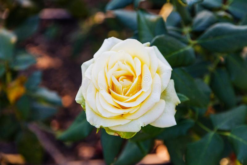Wild yellow rose stock photos