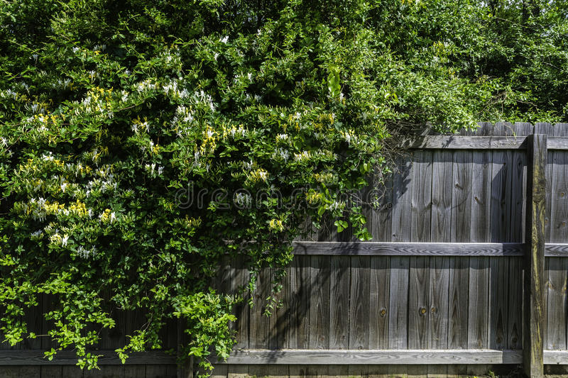 Wild yellow and white honeysuckle spilling over a fence royalty free stock photography