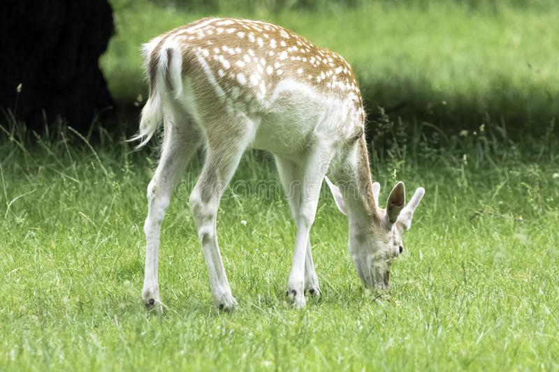 Wild young deer - London, United Kingdom royalty free stock image