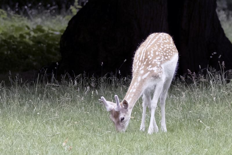 Wild young deer - London, United Kingdom royalty free stock photo