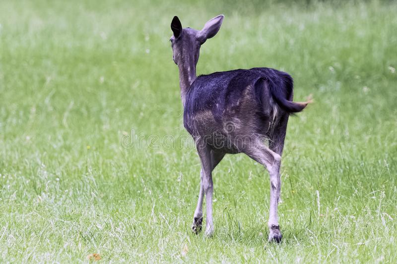 Wild young deer - London, United Kingdom royalty free stock images