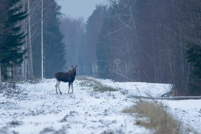 Eurasian elk. Wild young Eurasian elk bull in a forest in winter, Estonia