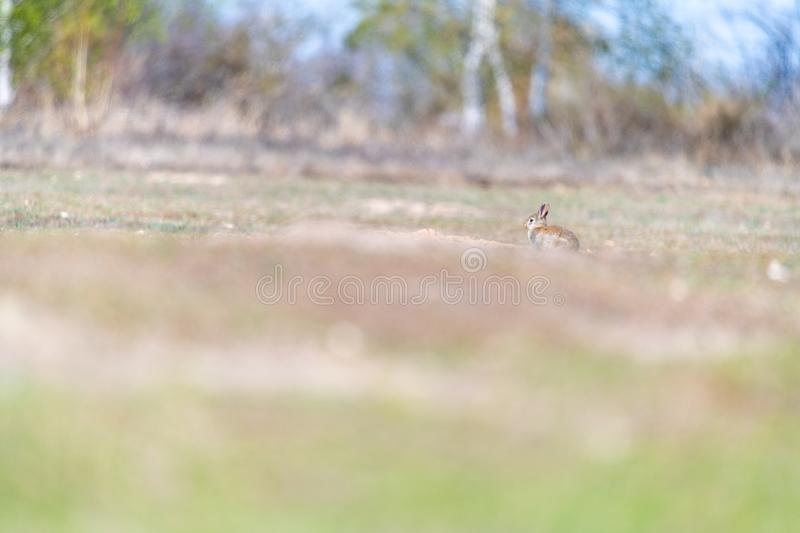 A wild young rabbit royalty free stock images