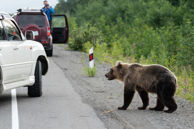 Wild hungry brown bear walking on road and begs for human food from people stock photo