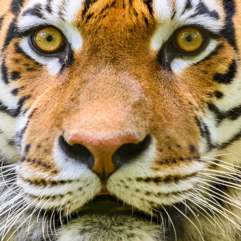 Wild Young Tiger Portrait. Wild Young Tiger (Panthera Tigris) Portrait stock photo