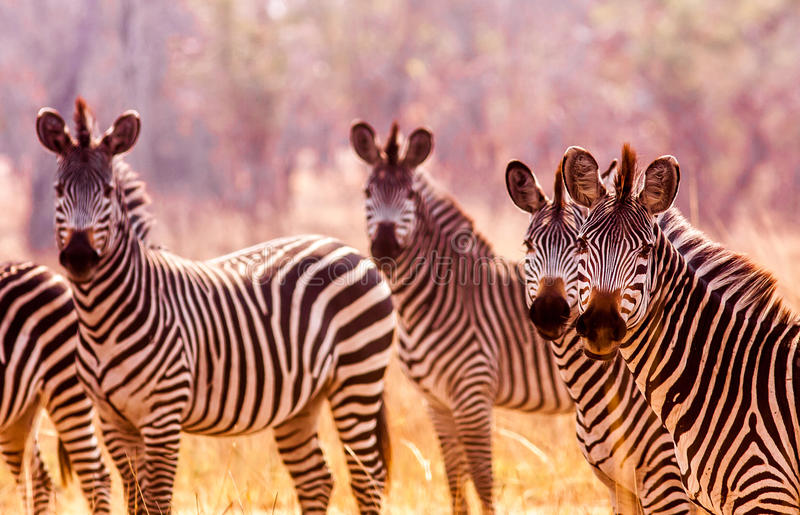 Wild zebra in the African savannah stock photo