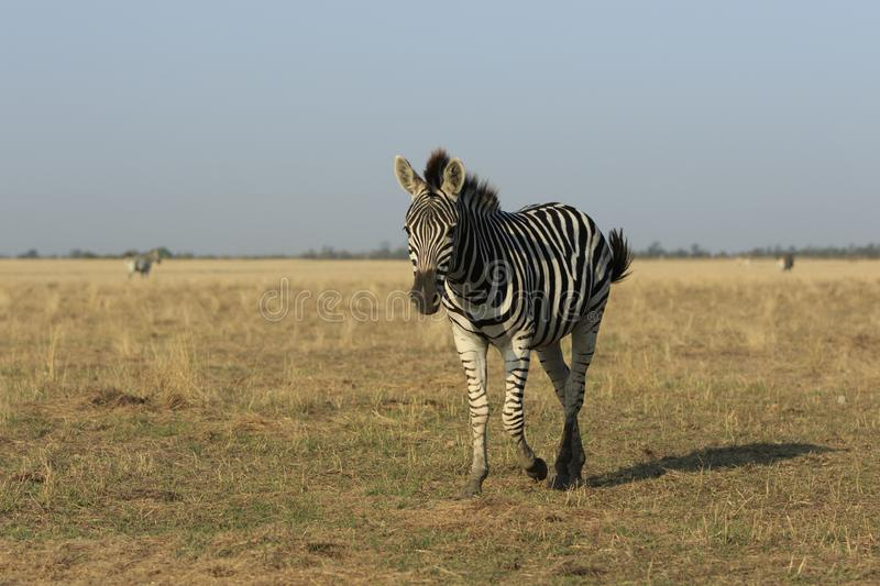 Wild Zebra in a Field stock images