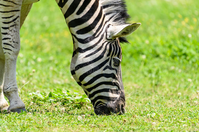 Wild Zebra Grazing On Fresh Green Grass royalty free stock image