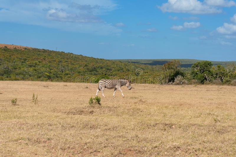 Wild zebra grazing savannah on sunny day stock photos