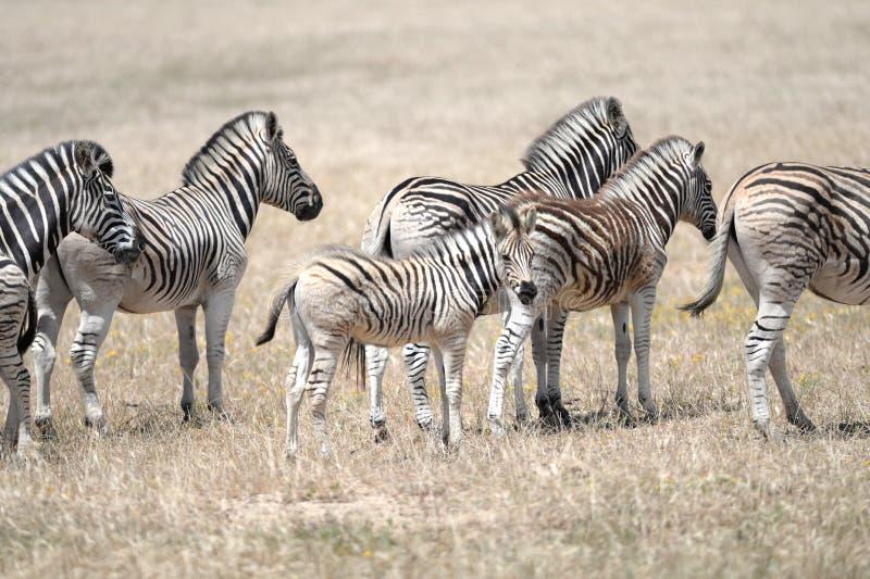 Wild Zebra. A shot of African Zebra in the wild stock photos