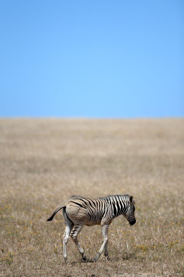 Wild Zebra stock photography