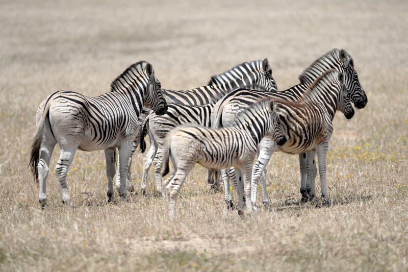Wild Zebra royalty free stock photo
