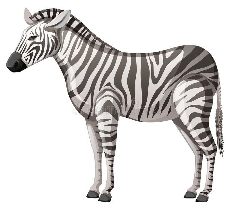 Free Wild Zebra Standing Alone On White Background Stock Images - 172878314