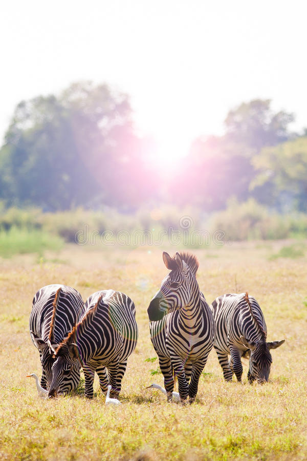 Wild zebra at sunrise royalty free stock photography