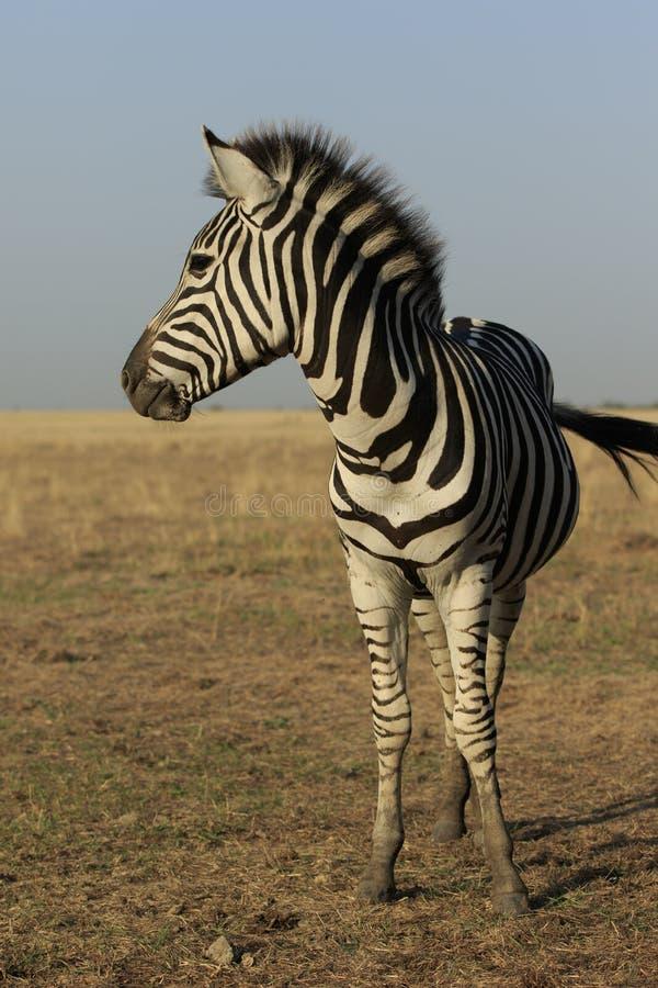 Wild Zebra Vertical Portrait royalty free stock image