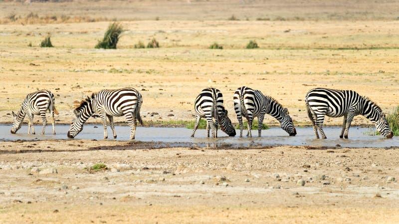 Wild zebras. Drinking, Kenya, Namibia royalty free stock photography