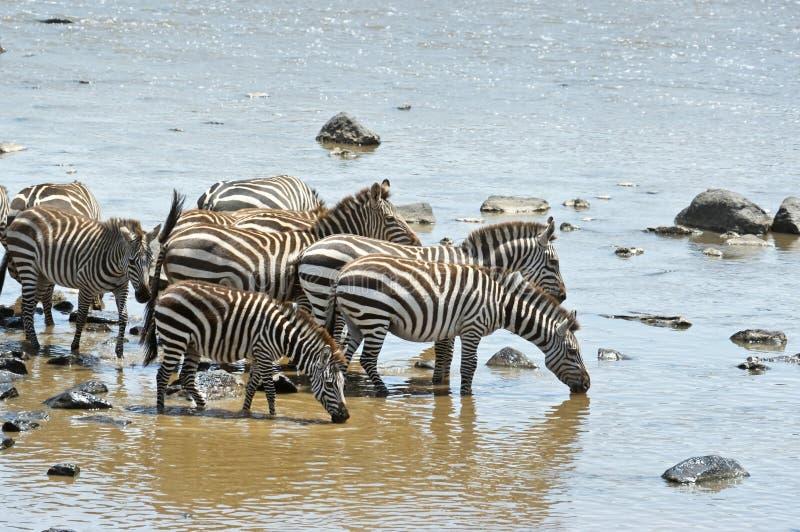 Wild zebras. Drinking, Kenya, Namibia royalty free stock photo