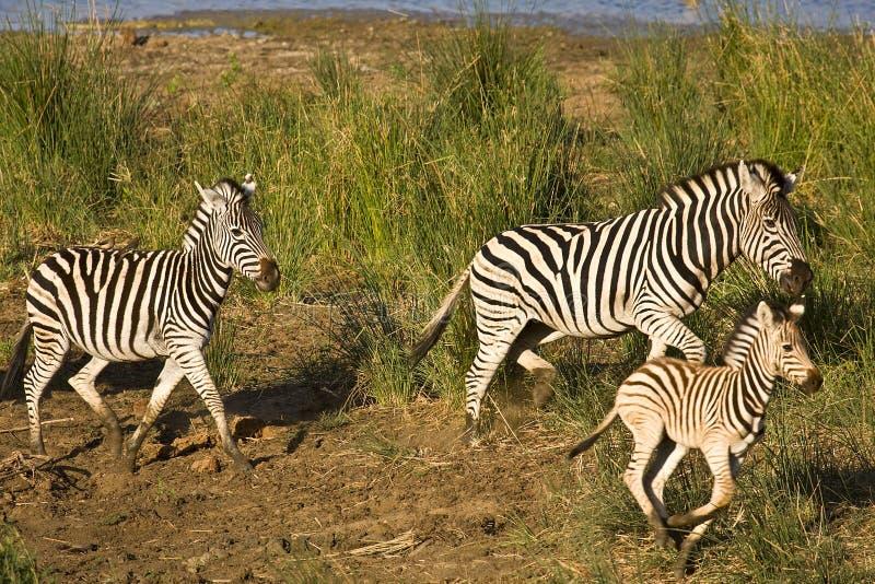 Wild zebras family running in the bush , Kruger National park, South Africa stock photo